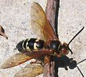 Cicada killer - - Sphecius speciosus - male