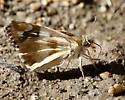 Erichson's White-skipper - Heliopyrgus domicella