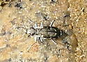 Another Tiger Beetle, ocean beach, Little Compton, RI