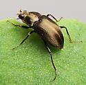 Beetle - Helichus lithophilus