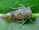 Leafhopper - Idiocerus lachrymalis