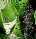 Striped Fishing Spider & Spiderlings - Dolomedes scriptus - female