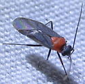 Miridae - Aoplonema