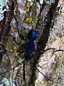Black longhorn beetle? - Physocnemum brevilineum