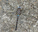 Dragonfly-blue & brown body, clear wings - Rhionaeschna multicolor