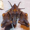 7825 Small-eyed Sphinx - Paonias myops