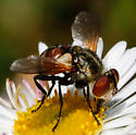 Tachina fly - Gymnoclytia occidentalis
