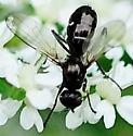 Sepsidae - Black Scavenger Flies Genus Themira - Themira
