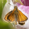 European Skipper? - Thymelicus lineola