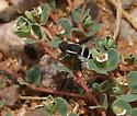 small beefly - Hemipenthes lepidota