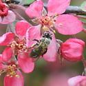 Unknown Bee Species - Andrena
