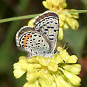 Rocky Mountain Dotted-Blue - Euphilotes ancilla