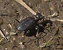 Tiger Beetles - Cicindela longilabris
