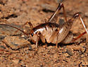 secluded camel cricket - Ceuthophilus seclusus - female