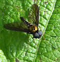 Chrysopilus thoracicus? - Chrysopilus thoracicus - male