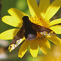Anthrax Beefly? - Hemipenthes