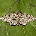 Unknown Moth - Protoboarmia porcelaria