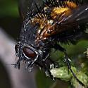 Spiny Tachina Fly - Paradejeania rutilioides
