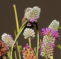 Geometridae (Blackberry Looper) on Prairie Clover - Chlorochlamys chloroleucaria