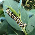 Tardy Monarch caterpillar - Danaus plexippus