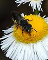Small black bee - Heriades leavitti - female