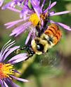 Bombus rufocinctus - female