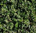 Klambothrips myopori