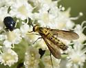 Fly on Angelica - Thevenetimyia - female