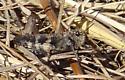 dark grasshopper - Encoptolophus sordidus - male