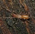 Hubbardiidae - Hubbardia pentapeltis