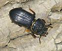 Horned Passalus Beetle - Odontotaenius disjunctus