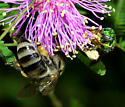 Darker Honeybees - Apis mellifera