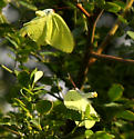 Questionable Behavior - Phoebis sennae - male - female