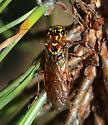 Saw fly - Acantholyda