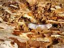stagbeetle eaters 2 - Ctenophora apicata