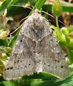 Very worn Clover Looper? - Caenurgina crassiuscula
