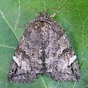 A Catocalinae sp. - Euparthenos nubilis