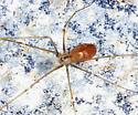 Cellar Spider - Pholcus opilionoides