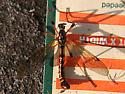 Crane Fly - Phoroctenia vittata - male