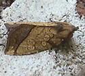Noctuidae: Papaipema rigida? - Papaipema rigida