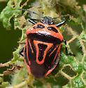 Perillus bioculatus