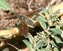 beefly- fairly large - Poecilanthrax lucifer
