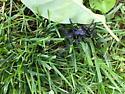 Big black spider - Ummidia