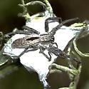 Spider atop egg case on Knapweed - Thanatus - female