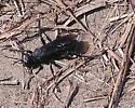 Another black digger wasp