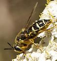 Fly  - Stratiomys badia