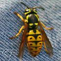 Wasp - Vespula pensylvanica