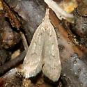 Spotted Dichomeris - Dichomeris punctidiscellus