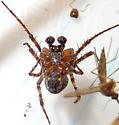 Dusty Orbweaver - Larinioides patagiatus - male