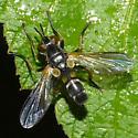 fly - Hemyda aurata